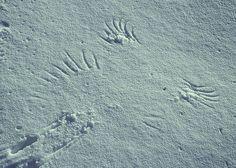 Crow snow pint