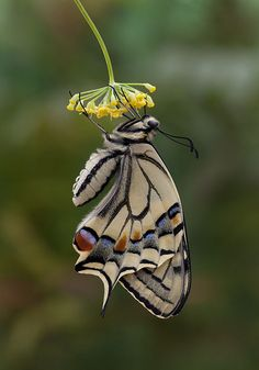 Papilio machaon, gorganus -European Swallowtail - by Don Wilks Flying Flowers, Butterflies Flying, Flying Insects, Bugs And Insects, Amazing Animals, Animals Beautiful, Butterfly Kisses, Butterfly Flowers, Beautiful Bugs