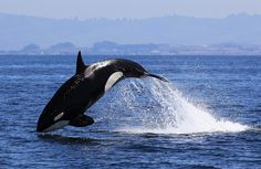 Transient Killer Whale by Tory Kallman | Flickr - Photo Sharing!