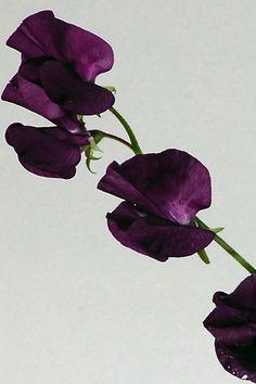kukkainfo.fi -> horoskooppikukka -> hajuherne=oinas Plant Leaves, Plants, Plant, Planets