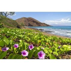 Beach morning glory with Puu Olai in background Makena Maui Hawaii United States of America Canvas Art - Ron Dahlquist Design Pics (38 x 24)