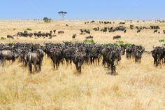 african landscape photos | African landscape with antelopes gnu — Stock Photo © Oleg ...