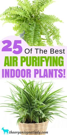 indoor plants clean air The Best Air Purifying Plants! Houseplants to Purify Air, Air Purifying Indoor Plants, Gardening Tips, Cleaning Naturally Indoor Plants Clean Air, Best Indoor Plants, Patio Plants, Cool Plants, Indoor Garden, Indoor Ferns, Air Cleaning Plants, Free Plants, Nature Plants