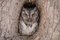 Beautiful, elegant and intelligent, owls are also very efficient at reducing rodent populations. That makes them a gardener's best friend. Learn how to attract these amazing birds to your backyard. Owl Habitat, Owl Bedding, Owl Box, Owl Photos, Owl Pictures, Bird House Plans, Screech Owl, Bird Aviary, Beautiful Owl