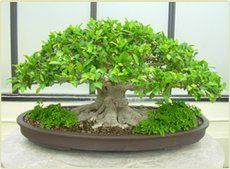 A Banyan bonsai... I've been toying with the idea of decorating with Bonsai..