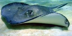 Southern Stingray, Dasyatis americana, has a flat, diamond-shaped disc, with a mud brown, olive, & grey dorsal surface & white underbelly (ventral surface). The barb on its tail is serrated & covered in a venomous mucous, used for self-defense.