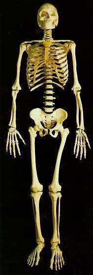 The following links will allow you to access real photographs of the human skeletal system.    The purpose of these pages is to quiz your knowledge on the structures of the skeletal system.