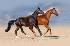 Photo about Two horses run in desert. Image of gallop, background, dust - 58757138 Two Horses, Photo Stock Images, Royalty Free Photos, World, Pictures, Photography, Animals, Design, Photos