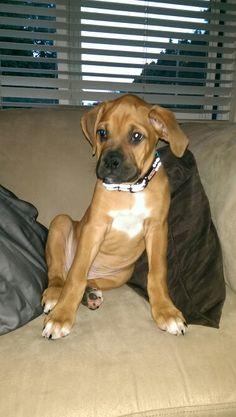 Mr. Captain Axel, my 10 week old boxer/ridgeback, is growing up waaaay to fast !!