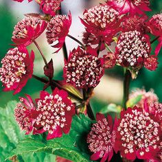"Astrantia major  'Rubra', Partial Shade, H18-30"", W18"", May to July, Claret-red"