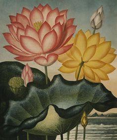 The Sacred Egyptian Bean, Nymphaea Nelumbo, a lotus illustration from Robert Thornton's Temple of Flora, 1807