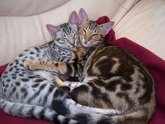 Ocicat Kittens. The brown one looks like my Apollo, and boy does  he live up to their talkative nature!