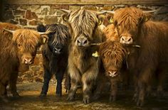 Highland cattle or kyloe are a Scottish breed of beef cattle with long horns and long wavy coats