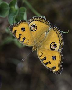 Junonia almana javana Peacock pansy butterfly