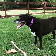 Starting my stick collection at Two Rivers Dog Park - Nashville, TN - Angus Off-Leash