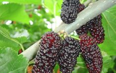 Acerola, Types Of Fruit, Beautiful Flowers Wallpapers, Exotic Fruit, Flower Wallpaper, Fruits And Vegetables, Fresh Fruit, Naan, Health Tips