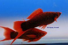 A Xiphophorus Hochzucht Portal - Új képek Wolfgang Brandt piros alfajának Xiphophorus hellerii