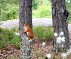 squirrel in Finland.