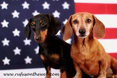 4th of july dachshund pictures