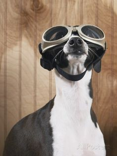 Italian greyhound wearing goggles Photographic Print at AllPosters.com
