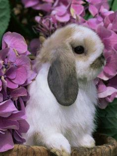Gorgeous Holland Lop, I believe it's a Fawn Broken? I could be wrong, I don't raise Hollands. I'm a Dutch breeder ;)