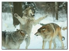Wolves by paddler60 on Flickr.