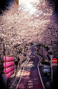 Sakura in Shibuya   Tokyo, Japan