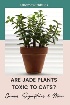 An important part of jade plant care is learning how they can safely be in your home with your cat. This guide covers everything you need to know about jade plants and cats. Houseplants Safe For Cats, Toxic Plants For Cats, Jade Plant Care, Cat Symptoms, Easy Care Indoor Plants, Common House Plants, Lucky Plant, Cactus Care, Cat Attack