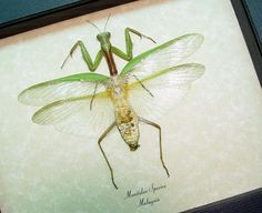 Mantidae Sp- Wide Real Framed Insect Praying Mantis This giant praying mantis has colorful wide green wings which mimic leaves.  Youll never
