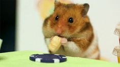 lol 大胃王比賽!!Hamsters--【笑到噴淚、四格漫畫、humour、funny、趣味-討論區-funny.baibai.com.tw 】