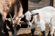 Tiere im Streichelzoo Goats, Animals, Image, Petting Zoo, Playground, Adventure, Animales, Animaux, Animal