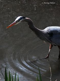 Blue Heron fishing in a pond. ©Copyright by Marty Nelson. Website:  http://martynelsonphotoart.wix.com/mn-photo-art
