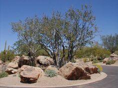 lush desert landscaping   Andersen Land Concepts - Nursery - Desert Trees