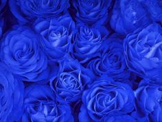 As rosas azuis existem