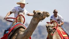 Green transportation: Camel races are Nevada tradition. Riders enjoy a race around the track on the first day of the International Camel Races in Virginia City on Friday.