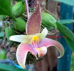 Miniature Orchid Bulbophyllum bataanense