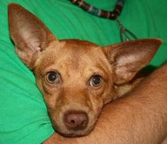 Pancho is an adoptable Chihuahua Dog in Chipley, FL. Pancho is a 1 year old male chihuahua cross, about 10 pounds.. Very sweet and friendly little snuggle muffin....