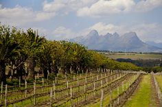 Stellenbosch Vineyards Cape Town, South Africa, Vineyard, Around The Worlds, Outdoor, Wine, Outdoors, Vine Yard, Vineyard Vines