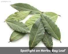 Spotlight on Herbs: Bay Leaf | The humble bay leaf -- The humble bay leaf — cultivated since the beginning of recorded history, used as a symbol of honor in Ancient Greek and Roman culture, and one of the most widely used culinary herbs in both Europe and North America. | TraditionalCookingSchool.com