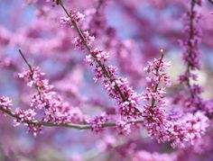 What Is a Judas Tree?