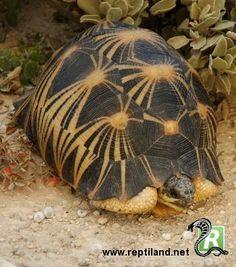 Astrochelys radiata, ou tortue étoilée de Madagascar ou tortue rayonnée, est une espèce de tortues de la famille des Testudinidés.  Elle risque de disparaître dans les 20 prochaines années en raison du braconnage pour sa viande et de son commerce illégal, selon les biologistes de la Turtle Survival Alliance (TSA) et de la Wildlife Conservation Society (WCS).