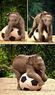 Exotic pets, baby elephants, save the elephants, animals and pets, zoo anim Baby Animals Pictures, Cute Animal Pictures, Funny Animals, Funny Pictures, Cute Elephant Pictures, Elephants Photos, Save The Elephants, Baby Elephants, Elephants Playing
