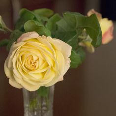 #yellowrose for #mothersday