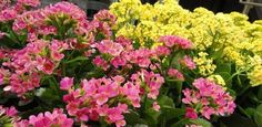 Read this article to find out how to care for kalanchoe plants and tips on how to make them bloom rebloom again.