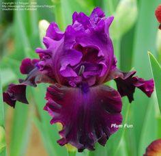 bearded+iris | PlantFiles: Picture #1 of Tall Bearded Iris 'Plum Fun' (Iris)