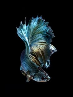 iPhone announced with Betta Background Colorful Fish, Tropical Fish, Beautiful Fish, Animals Beautiful, Poisson Combatant, Betta Fish Types, Carpe Koi, Beta Fish, Siamese Fighting Fish
