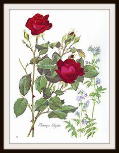 Roses Botanical Print 8 1966: Frameable Wall by GailsPrintCrafts