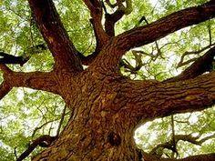 """Niembaum (Azadirachta indica) """"Der Niembaum (Azadirachta indica, Syn.: Melia azadirachta L., Antelaea azadirachta (L. Adelb.)), auch Niem, Neem, Margosa, (Nimtree, Indian-lilac (engl.), margousier (fr.)) genannt, ist eine der zwei Arten der Gattung Azadirachta.[1] Die andere Art heißt Azadirachta excelsa.[1] Die wirkstoffreichen Pflanzenteile finden Verwendung in Medizin und Landwirtschaft."""""""