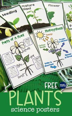 FREE life cycle of plants posters are the perfect addition to your science bulletin board and plant life cycle activities. life science Plant Life Cycle Activities-Fun, Hands-on Science for Kids Plant Science, Kindergarten Science, Elementary Science, Science Lessons, Science For Kids, Science Activities, Activities For Kids, Science Experiments, Sequencing Activities