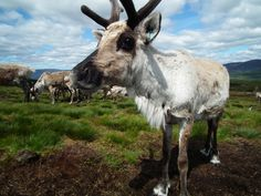 Reineer in the Cairngorms Scottish Animals, Northern Exposure, Cairngorms National Park, Scottish Castles, Scotland Travel, Travel Europe, Highlands, Elk, Iceland